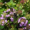 続白山高山植物園「蜜蜂」