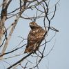 Three Red-tailed Hawks