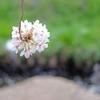 二ヶ領用水の桜を見に行ってきた