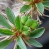 ユーフォルビアの種盛り。