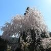 和田の枝垂桜。