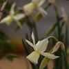 タリア、斑入りゼラニウム開花中
