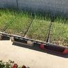 昨日の午後はアグリライフ!ネギの定植。