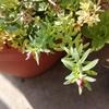 花かんざしにつぼみが!冬なのにベランダで咲き続けるペチュニア。