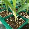 【グラスジェムコーン②】真っ白な芽が現れた!?〜植物のアルビノは存在するのか…?〜