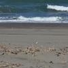 メダイチドリ  広い浜辺の小さな千鳥