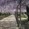 江南 藤まつり2018開幕前日の曼陀羅寺公園の様子。