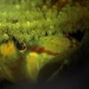クロヨシノボリが卵を守っています。