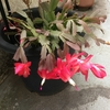 例年になく咲き揃うサボテンの花