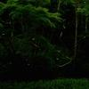 「ホタル」の撮影 2021年6月13日 その2 (機材: LAOWA 17mm F1.8 MFT、OLYMPUS PEN Lite E-PL3、三脚 SLIK PRO804CF 、自由雲台 Velbon PH-263  )