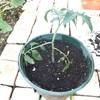 種から育てたトマトの植え替え