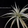 【Tillandsia White Star (T. ixioides X T. recurvifolia)】