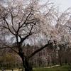 桜・・・花に会いに行く
