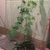 ゴーヤ鉢植え