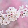 桜といえばお花見団子♪