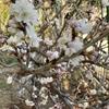 2021.2.22 さくらんぼの花が咲き始めました。