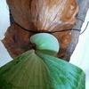 エレマリアの貯水葉が成長してきた。