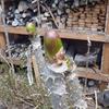 タラの芽収穫 ジャガイモ植え