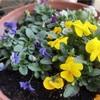 我が家のベランダガーデンは春です!