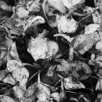 朽ちた紫陽花からこぼれるモノクロの走馬灯【フォト雑記】