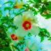 むくげの花 白く彩る花と雲