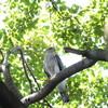 オオタカ2度と秋の渡り鳥多種(大阪城野鳥探鳥 2016/09/10 5:20-13:40)