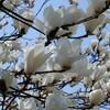 横浜で桜の直前の花々を貼る日記
