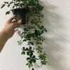 初めての観葉植物にシュガーバインをお迎え