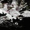 3月28日(110日目) 夜桜がキレイ