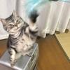 アメショのミーちゃんと猫じゃらし