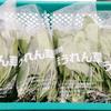 【農業体験】 ホウレン草の収穫をしてきました!