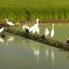 白鷺という名のサギは、生物の種としては存在しない!?