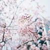 千鳥ヶ淵に桜を見に行ってきた!!!!