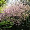 兵庫県加古川)日岡山公園、加古川河川敷。桜はほぼ終わりだが、きれいな桜も。