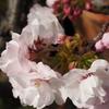 ベランダ鉢植えの八重桜が咲きました(笑)