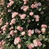 バラの有機栽培について