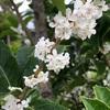ヒイラギモクセイ(柊木犀)