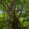 北ノ俣沢を歩く-その3 ブナとミズナラの夫婦樹