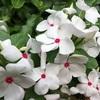 ニチニチソウの白い花