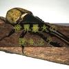 世界最大の昆虫はどれ?【体積・表面積・体長・体重+総合優勝】全100万種越えの頂点を決定。