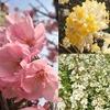 陽光、ミツマタ、ユキヤナギ…散歩中の花々との楽しい出会い