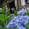 見事な紫陽花寺!鎌倉の長谷寺で癒されて。紫陽花も凄いが人も凄い