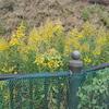 黄色い花 セイタカアワダチソウの不思議