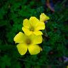 カタバミの花 sorrel