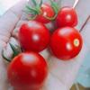 ミニトマト収穫☆