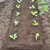 白菜の苗 植え付けしました!