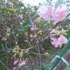 田川邸前の河津桜が咲き始めました