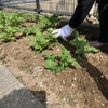 デイサービスの菜園