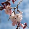 心晴れる桜の開花