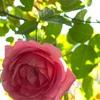 10月上旬のベランダのバラ 月一の肥料&憎き白いヤツー!!